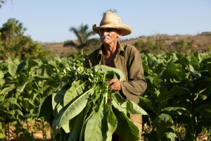 A tobacco farmer with freshly cut leaves in a Cuban field.